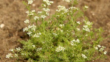Planta minune găsită peste tot în România! Vindecă multe boli şi este folosită de mii de ani