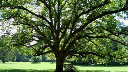 Atenție! Nu mai sta la umbra acestui arbore! Este extrem de toxic! Explicația cercetătorilor care validează o superstiție veche
