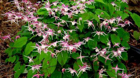 Planta care are proprietăți afrodisiace uluitoare. Se folosea încă din antichitate pentru restaurarea vieţii sexuale