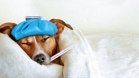 Câinele tău are febră? Cum îți dai seama și ce trebuie să faci înainte de a-l duce la veterinar