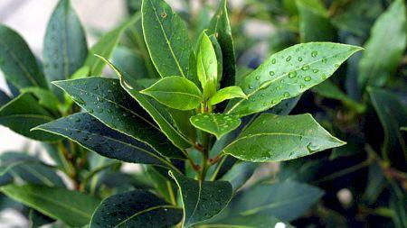Remediu extrem de puternic: Cinci boli pe care le poți trata cu frunzele de dafin