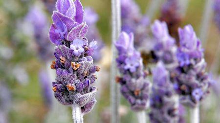 Planta care îți oferă liniște și confort. Are efect antiinflamator, dar și antiseptic. Este benefică chiar și pentru piele