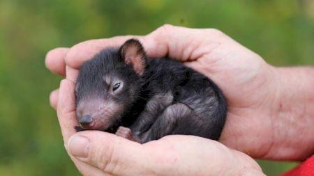 Diavolii tasmanieni există și astăzi și s-au înmulțit. Cum arată? Au fost o specie pe cale de dispariție. Pe cine au ucis